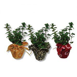 צמח תבלין עטוף בבד צבעוני